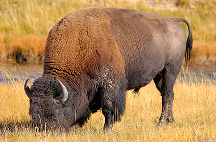 Bison_NezPerceCreek_9609