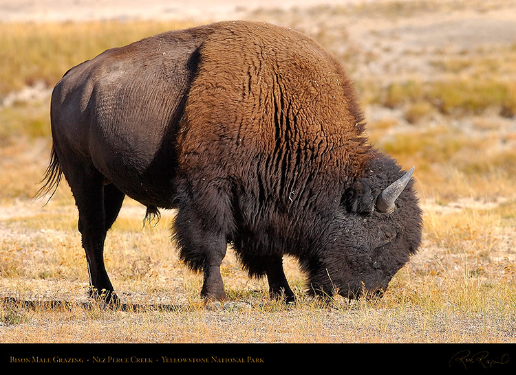Bison_NezPerceCreek_9634