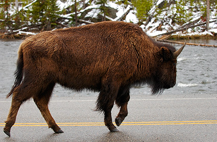 Bison_in_theRoad_GibbonRiver_5797