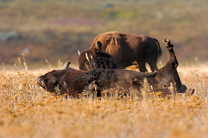 Bison_Wallow_LamarValley_8477
