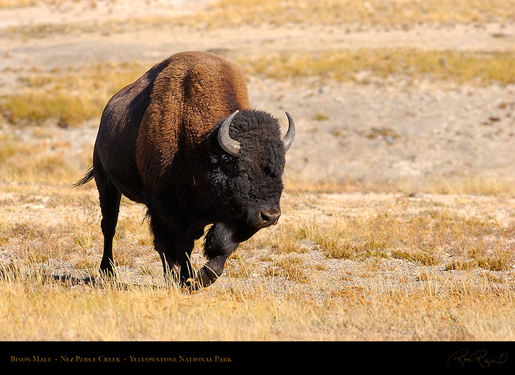 Bison_NezPerceCreek_9653