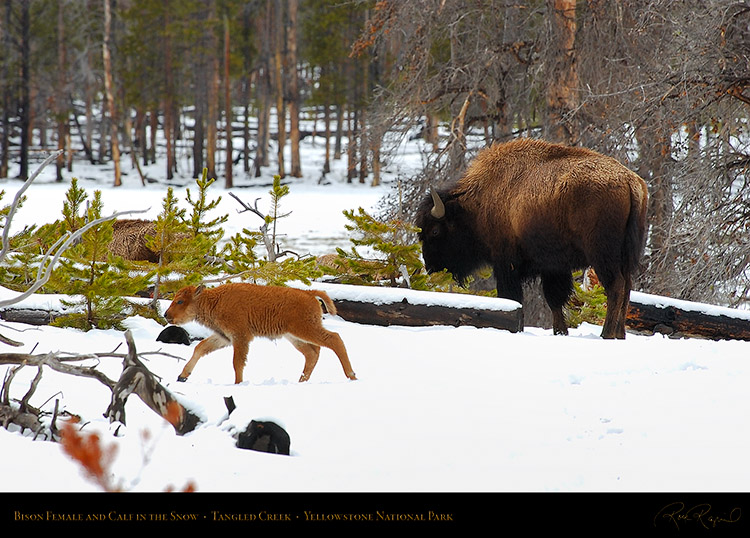 Bison_andCalf_inSnow_5772