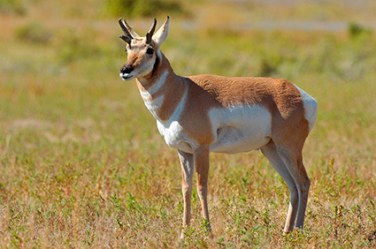Pronghorn_YoungMale_LowerMammoth_7584