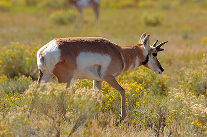 Pronghorn_YoungMale_LowerMammoth_7625