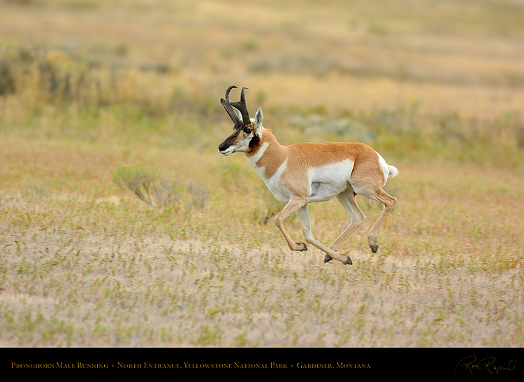 Pronghorn_NorthEntrance_Yellowstone_0211