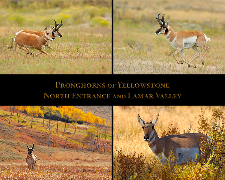 Pronghorns_NorthEntrance_LamarValley