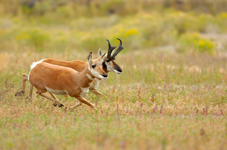 Pronghorns_NorthEntrance_Yellowstone_0165