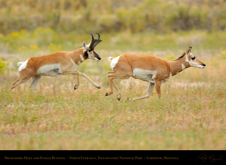 Pronghorns_NorthEntrance_Yellowstone_0168