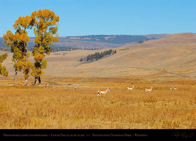 Pronghorns_LamarValley_0548