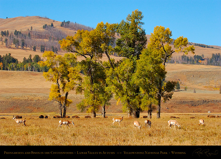 Pronghorns_LamarValley_0589