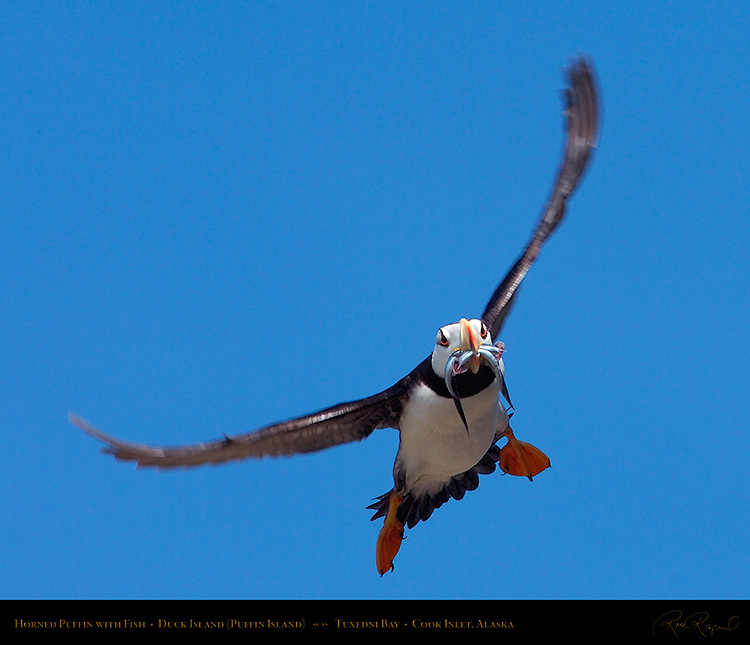 HornedPuffin_withFish_HS2680M
