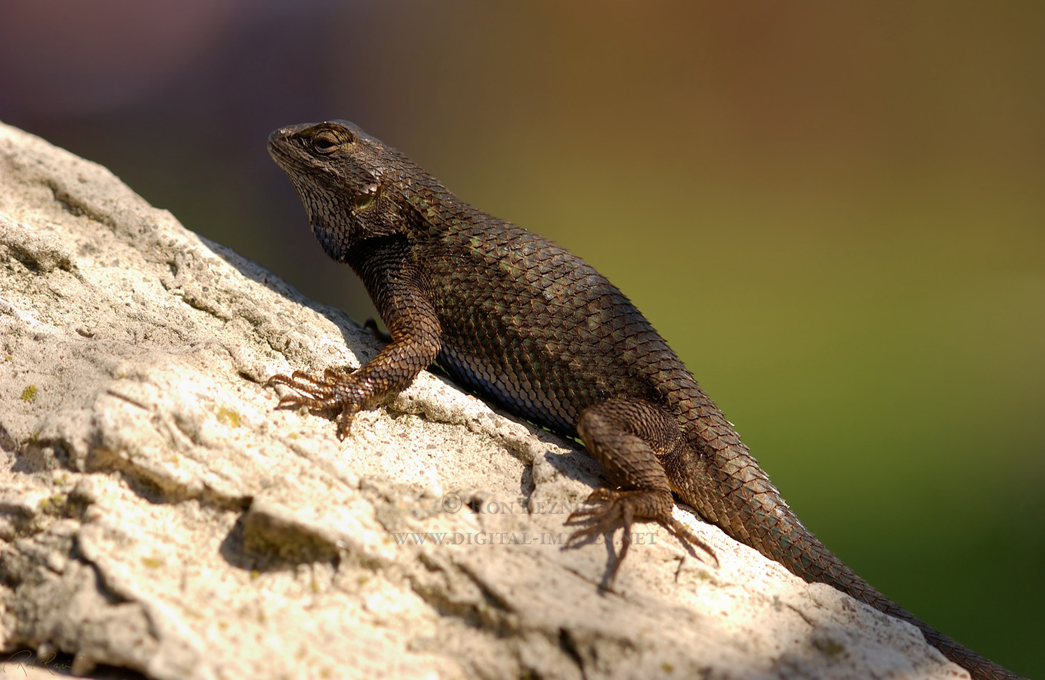 how to catch a blue belly lizard