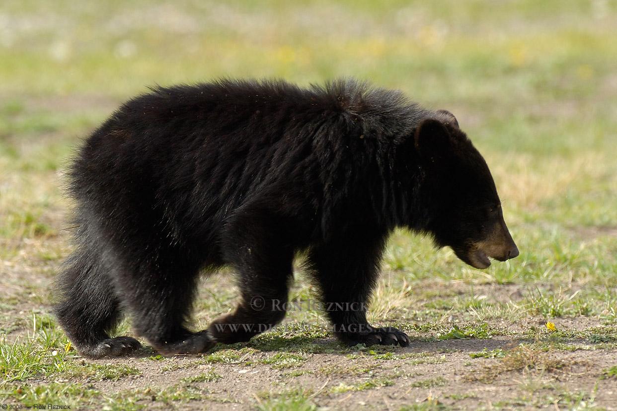 bears - photo #33