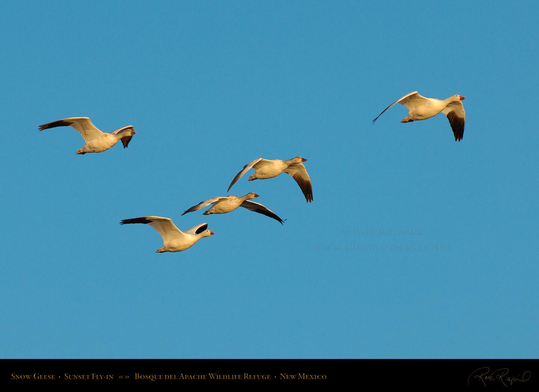 Snow Geese in Flight   1500 x 1092 jpeg 267kB