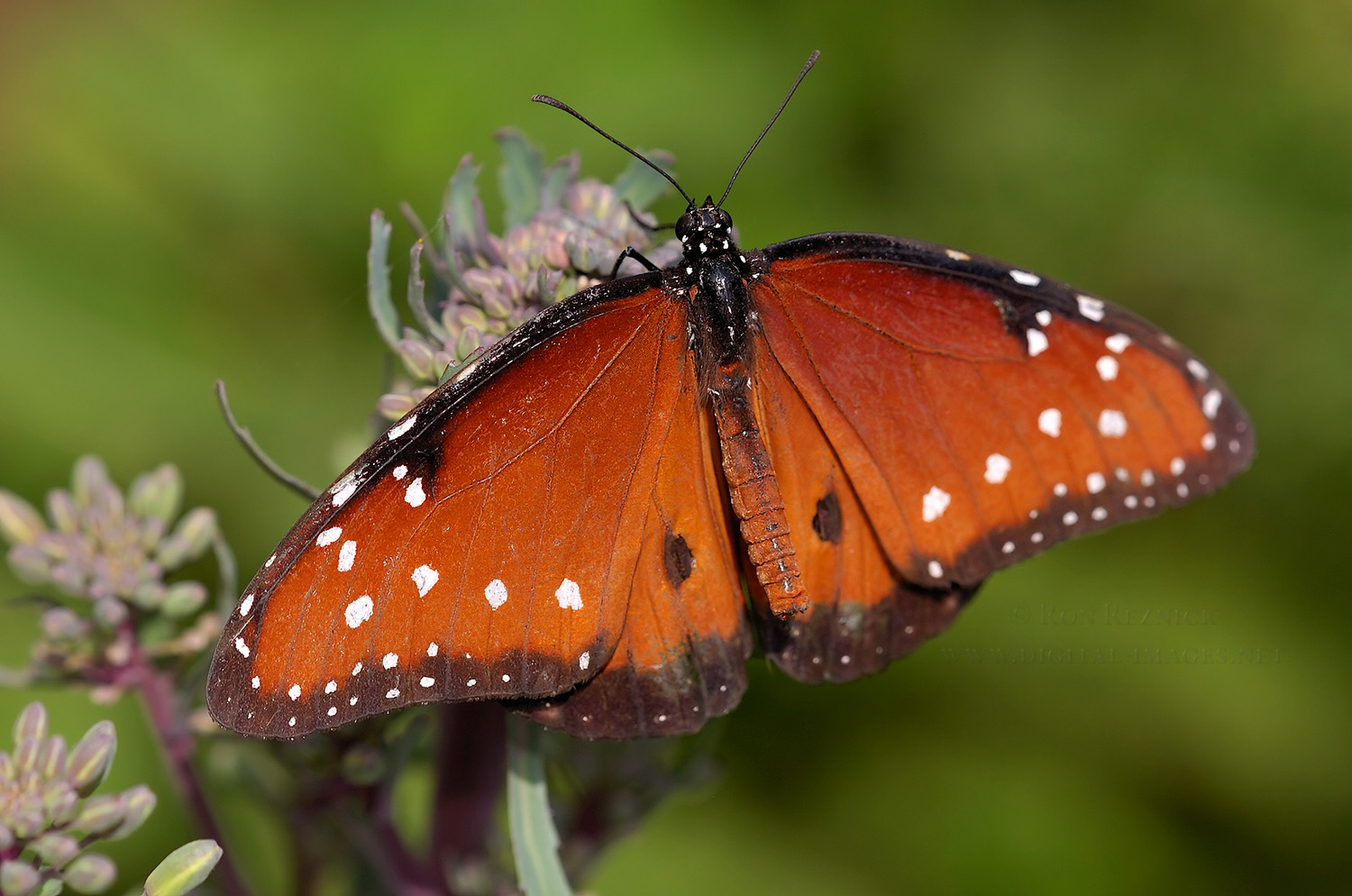 Back > Gallery For > Orange And Black Butterfly Not Monarch Queen Butterfly Vs Monarch