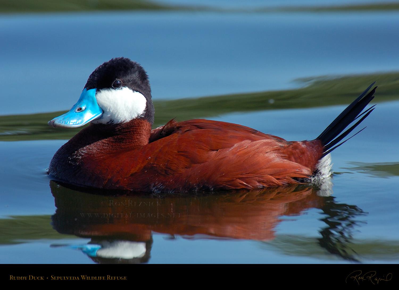 pics photos duck - photo #27