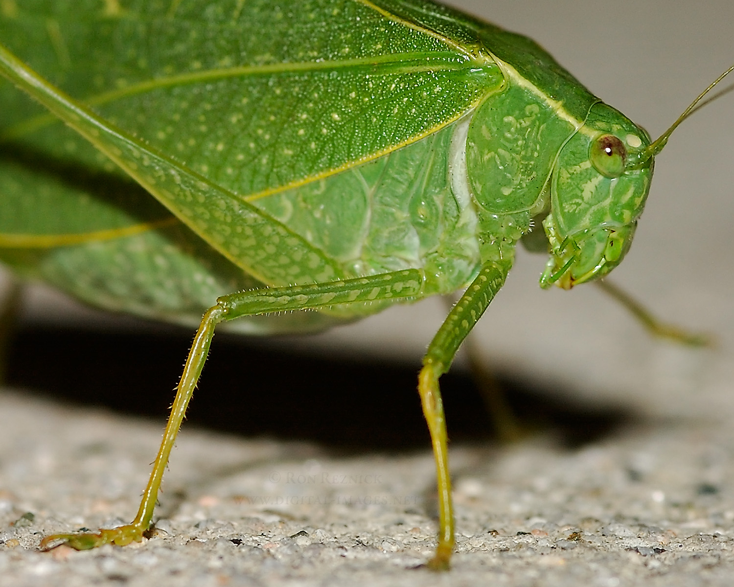 Miscellaneous Insects: Katydids, Cicadas, Ladybugs ...
