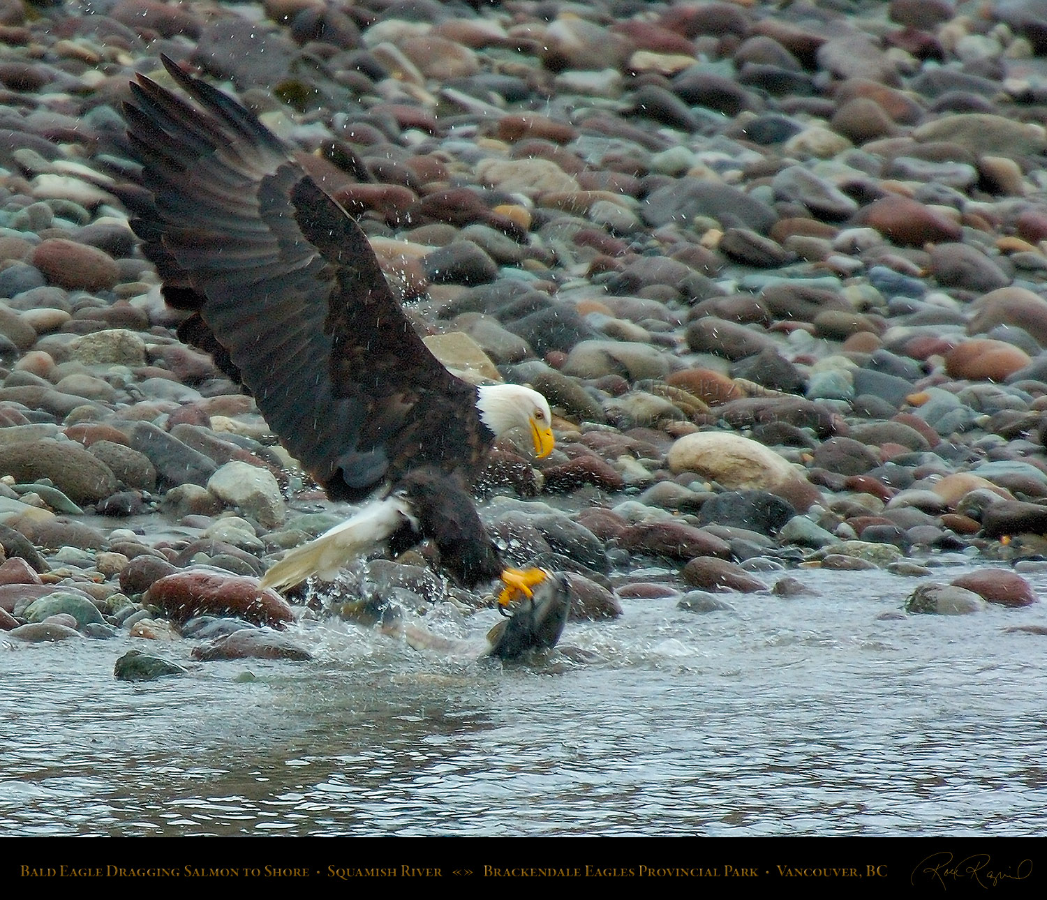 Bald Eagles From Brackendale Park, Vancouver And