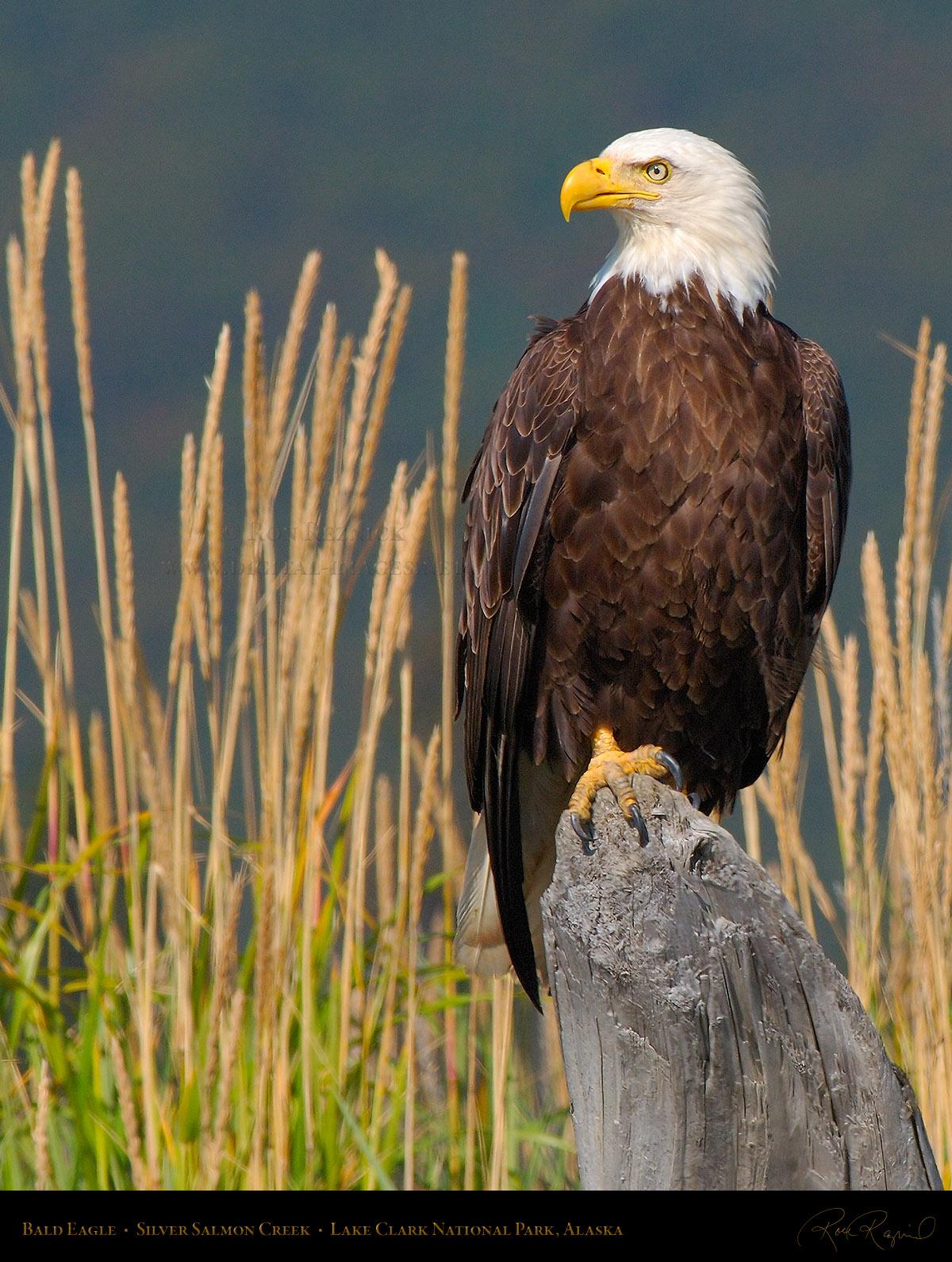 Eagles Index plus Golden Eagle, Steller's Sea Eagle and ...