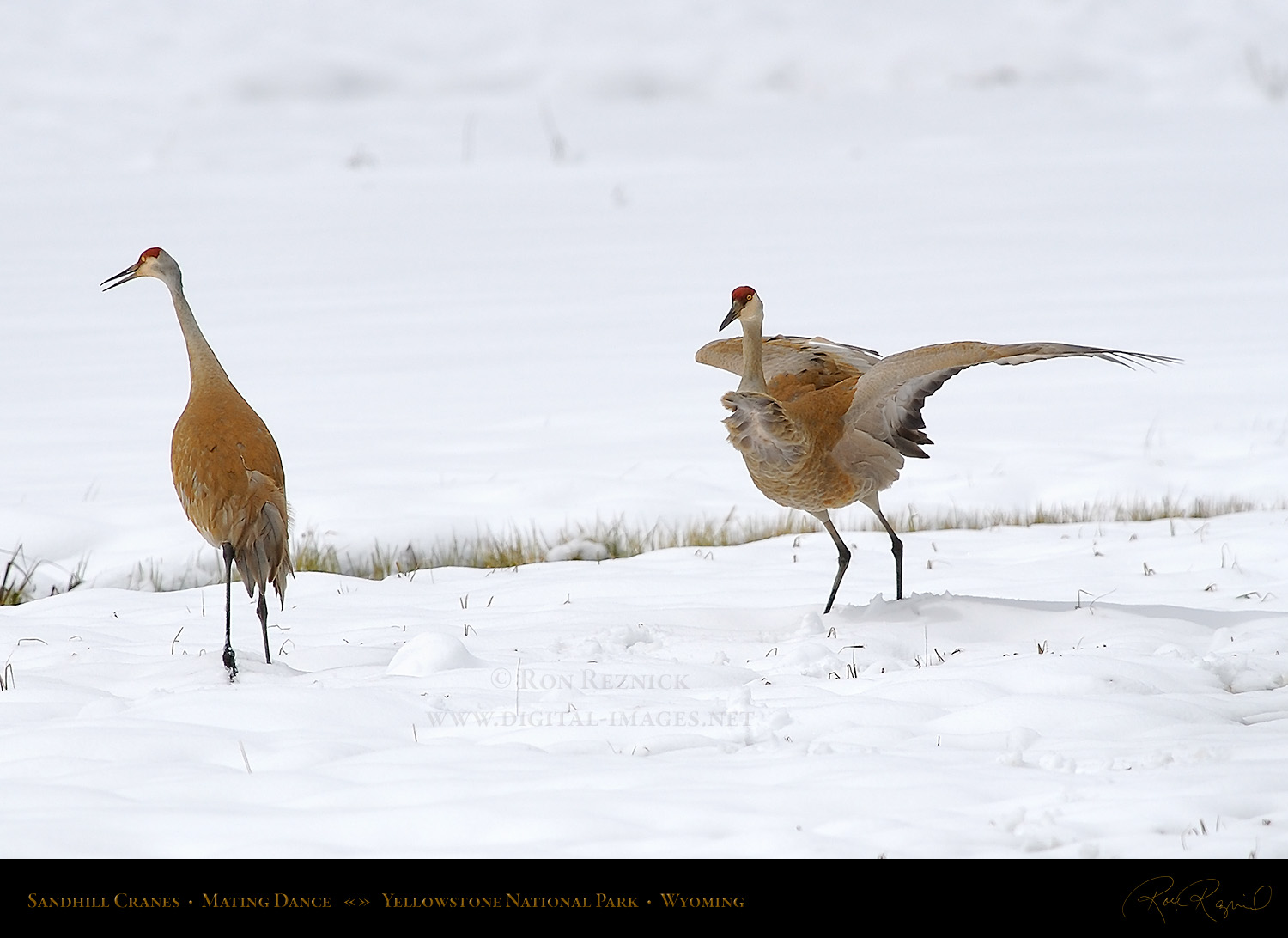Mating Positions Sandhill crane mating dance