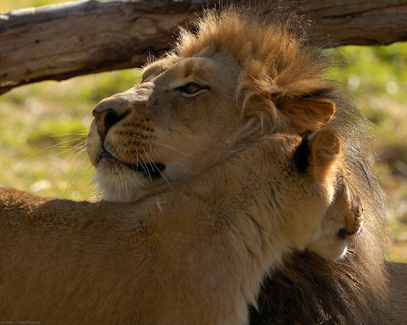 Male and female lions cuddling