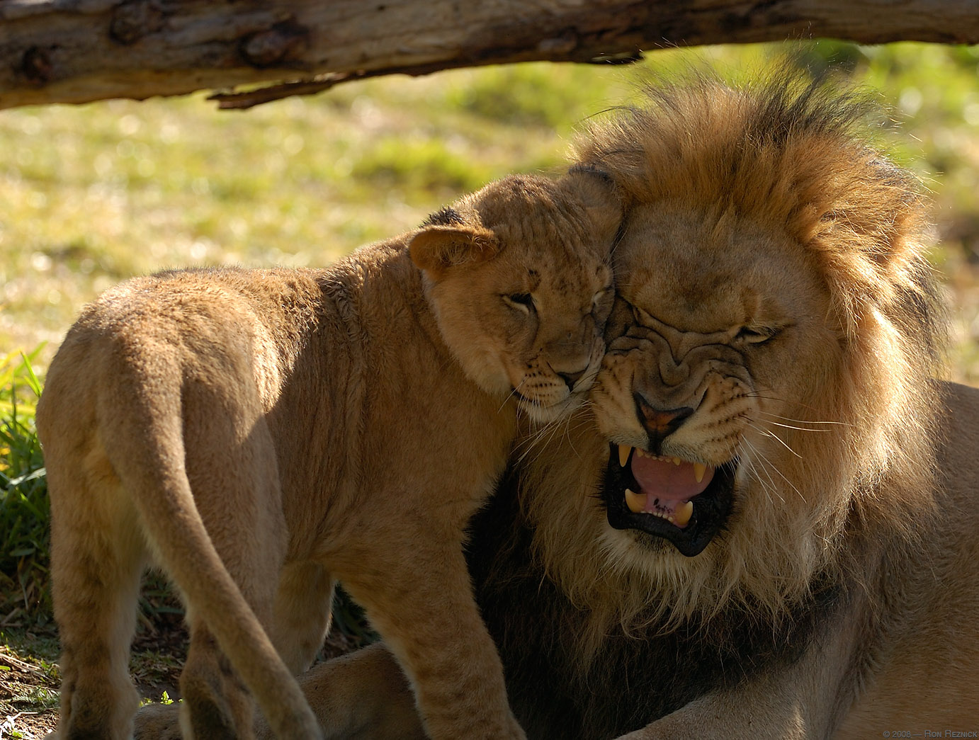 intimidating lions Although mountain lions generally keep to themselves look and act intimidating time may receive compensation for some links to products and services on this.