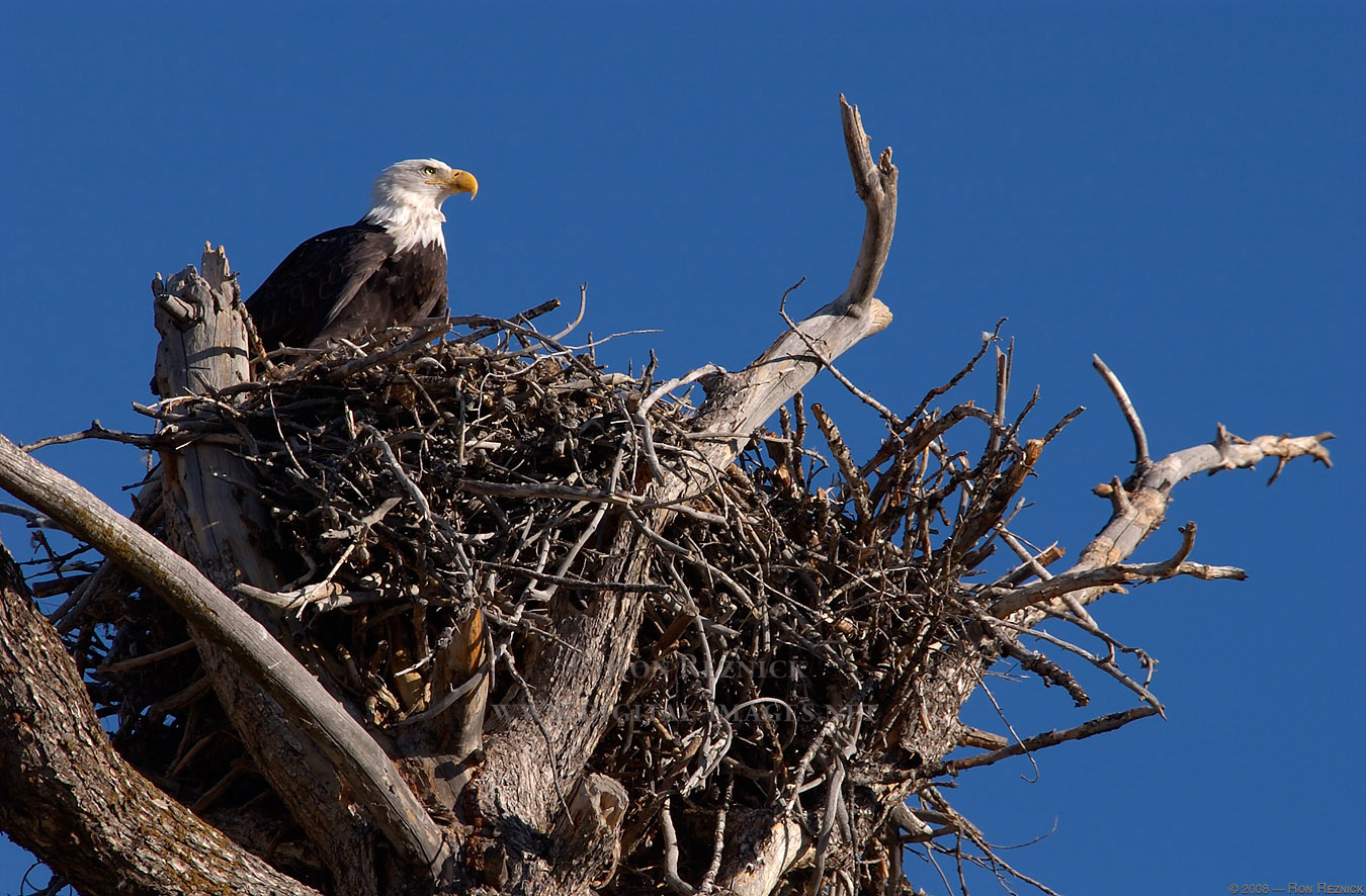 An eagle's nest can weigh as much as two tons - Virtual ...