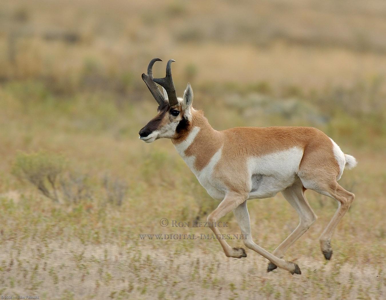 Elk and Pronghorn Ante...