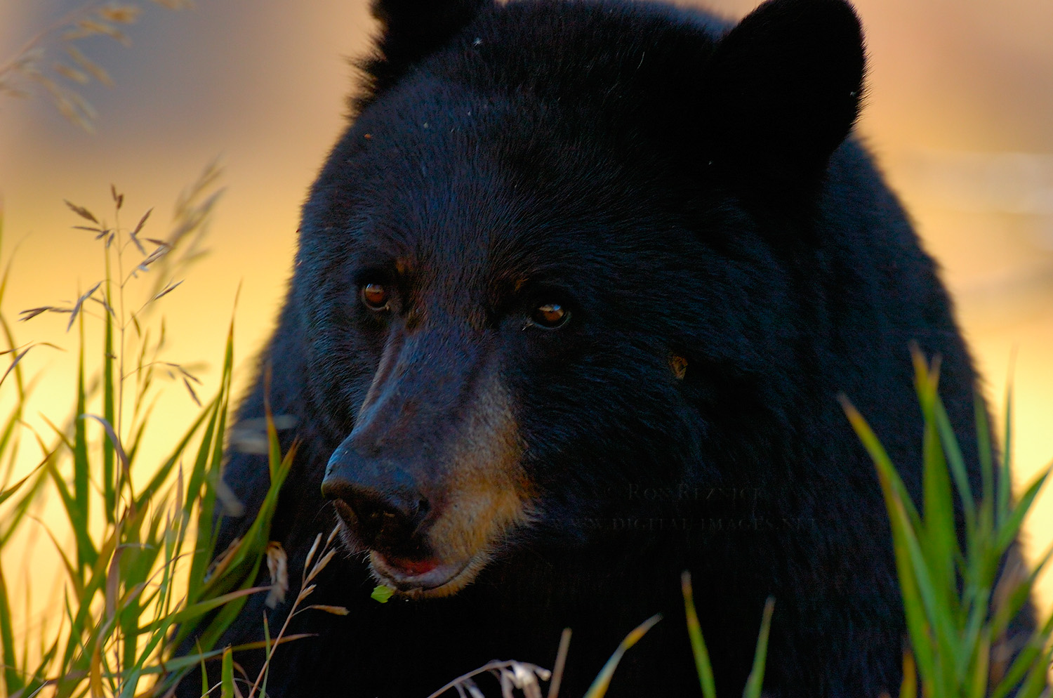Black bear head profile - photo#23