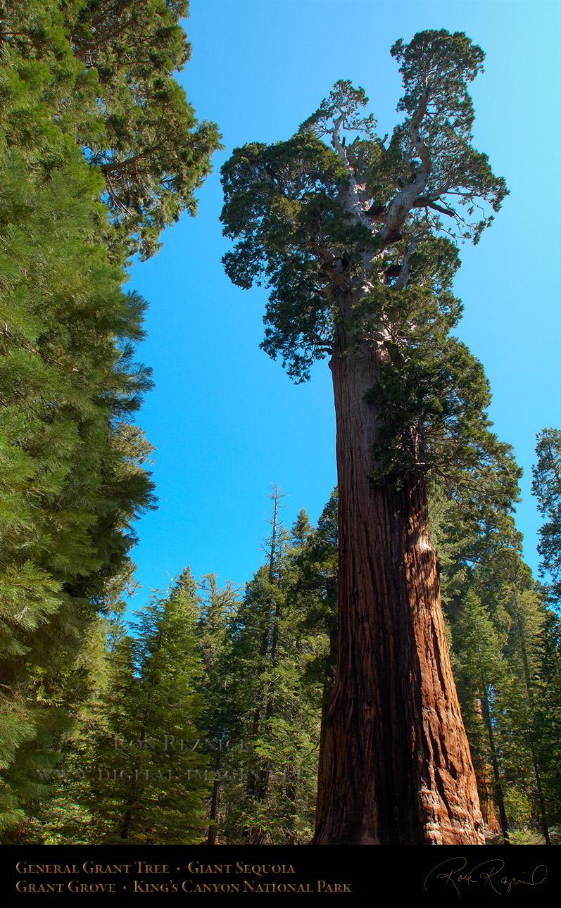 General Grant Tree Crown