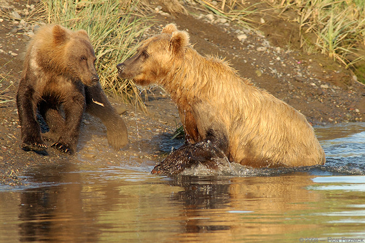 Grizzly_FishingLesson_X3195