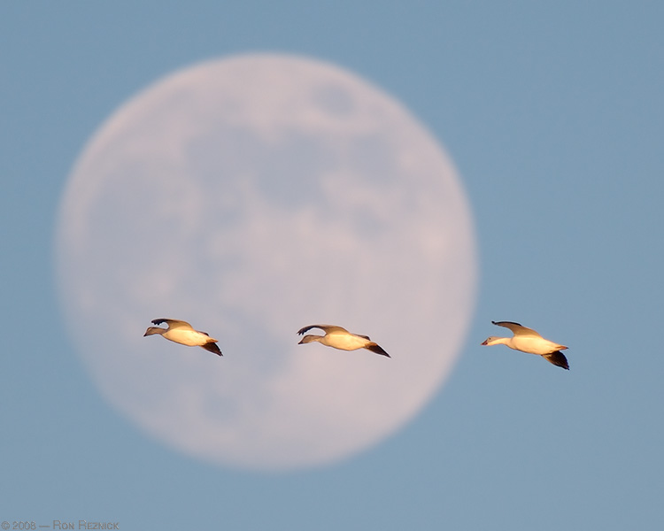 SnowGeese_Moon_X4031