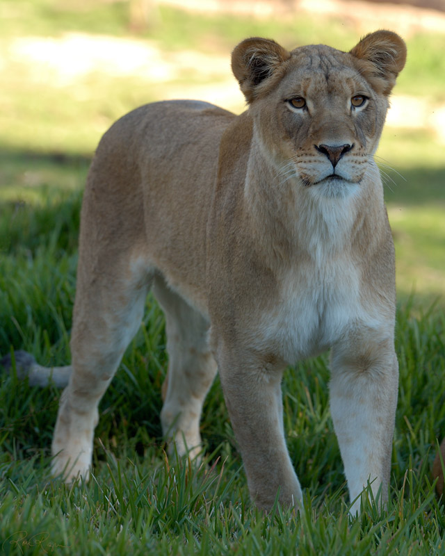 Lioness_X8501s